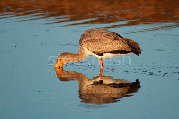 Yellow-billed stork Stock photo © EcoPic