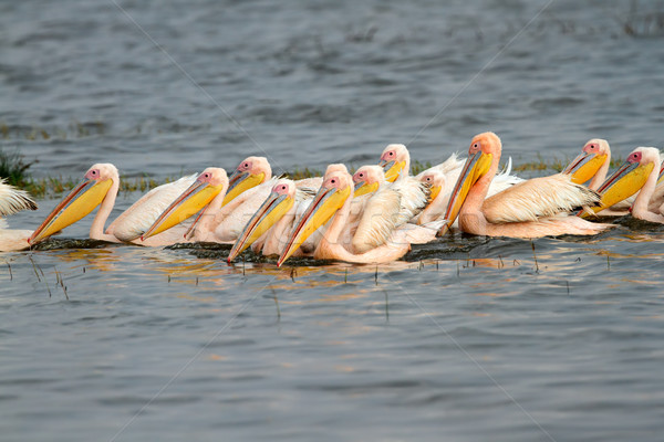 Great white pelicans Stock photo © EcoPic