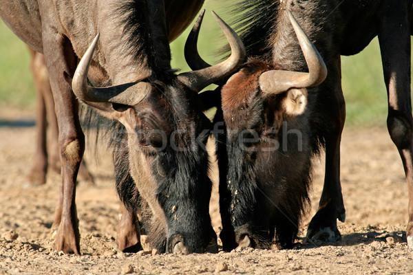 Wildebeest drinking Stock photo © EcoPic