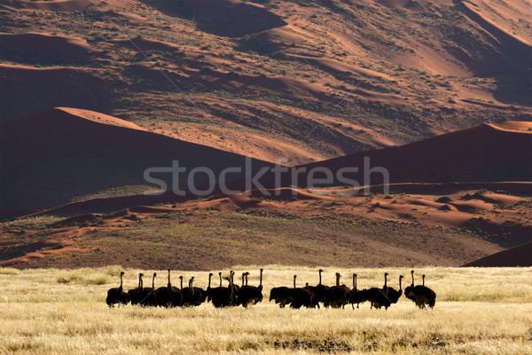 Desert ostriches Stock photo © EcoPic