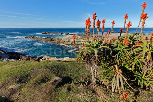 風光明媚な 海岸線 南アフリカ 開花 アロエ 庭園 ストックフォト © EcoPic
