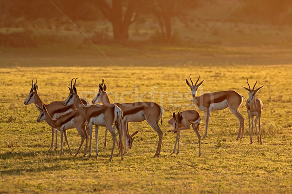 Springbok antelopes at sunrise Stock photo © EcoPic