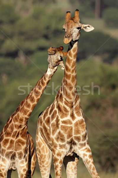 Jirafa interacción dos jirafas Sudáfrica África Foto stock © EcoPic
