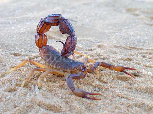 Aggressive scorpion Stock photo © EcoPic