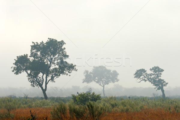 árvores névoa de manhã cedo parque África do Sul árvore Foto stock © EcoPic