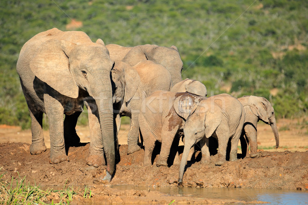 African elephant family Stock photo © EcoPic