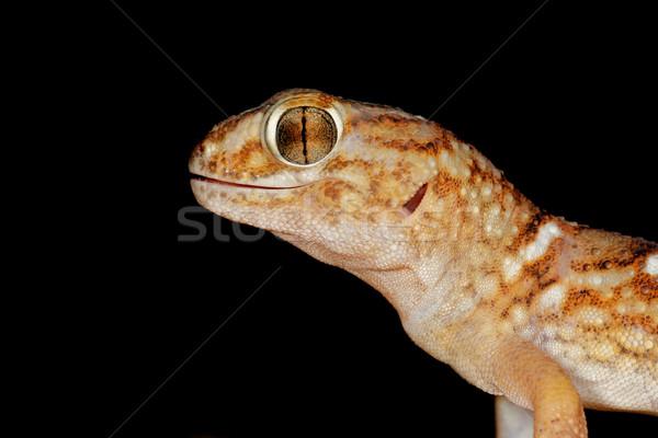 Reus grond gekko portret woestijn South Africa Stockfoto © EcoPic