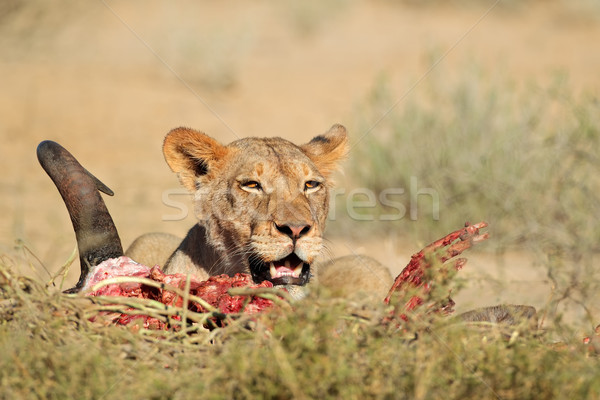 Feeding lioness Stock photo © EcoPic