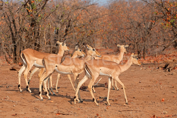 Impala antelopes Stock photo © EcoPic
