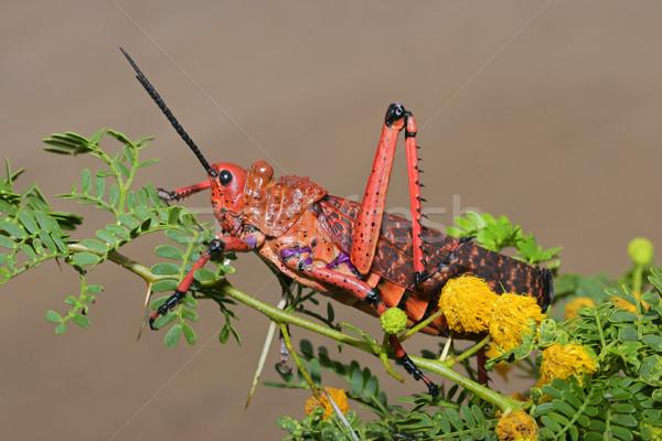 グラスホッパー 赤 支店 花 南アフリカ 脚 ストックフォト © EcoPic