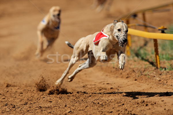Sprinting greyhound Stock photo © EcoPic