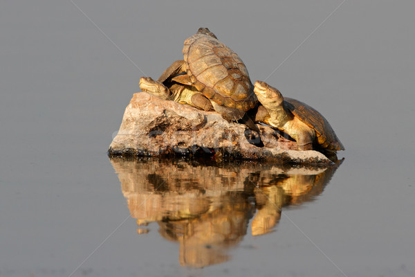 Helmeted terrapins Stock photo © EcoPic