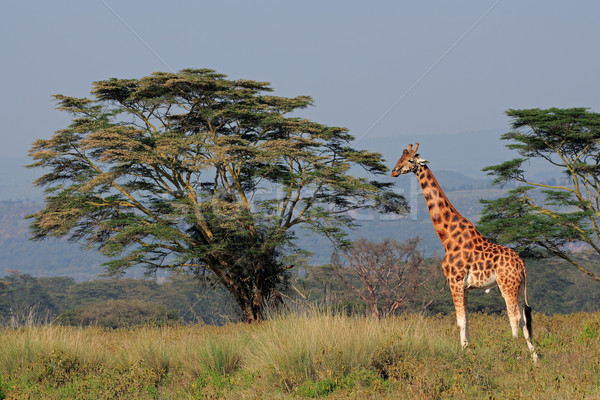 Stock photo: Rothschilds giraffe