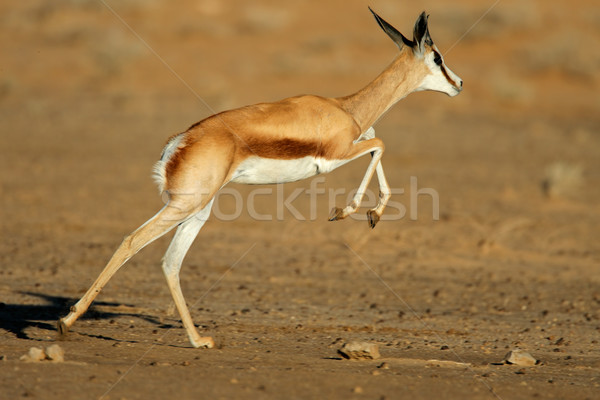 Running springbok antelope Stock photo © EcoPic