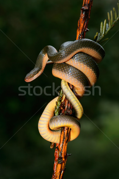 Aurora house snake Stock photo © EcoPic