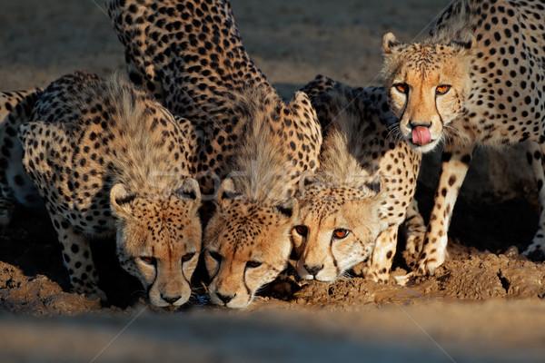 Ivóvíz éber sivatag Dél-Afrika szemek természet Stock fotó © EcoPic