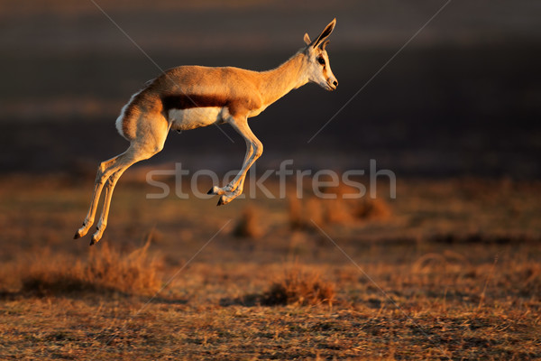 Springbok antelope jumping Stock photo © EcoPic