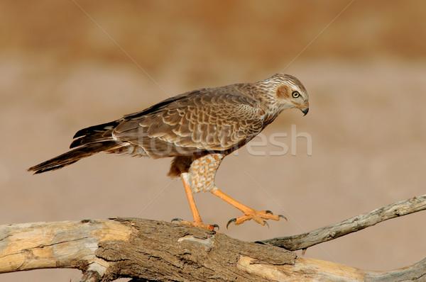Blady niedojrzały oddziału pustyni Południowej Afryki charakter Zdjęcia stock © EcoPic