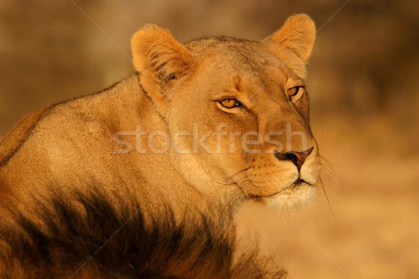 Porträt wachsam Südafrika Augen Löwen weiblichen Stock foto © EcoPic