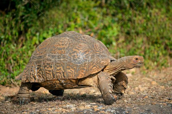 Hegy teknősbéka leopárd Dél-Afrika kagyló állat Stock fotó © EcoPic