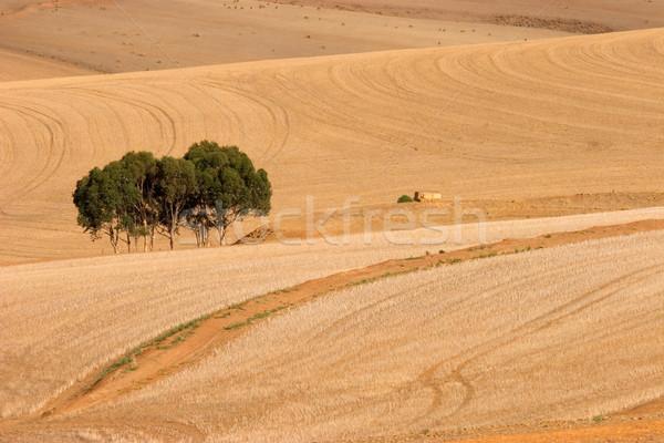 Wheat fields  Stock photo © EcoPic