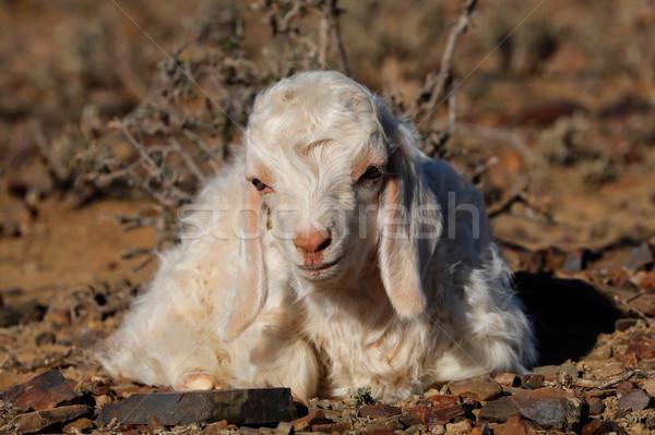 Angora goat kid Stock photo © EcoPic