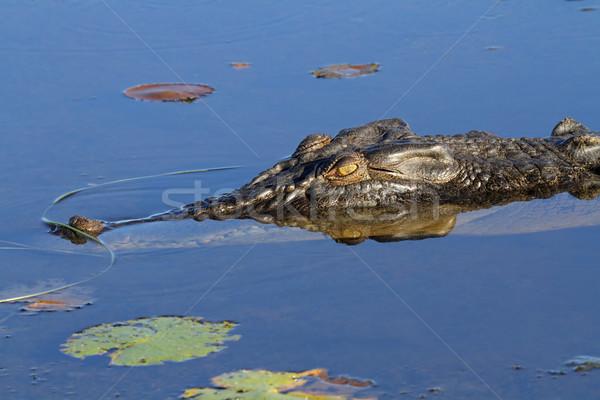 Saltwater crocodile Stock photo © EcoPic
