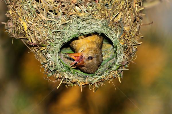 Cape weaver in nest Stock photo © EcoPic