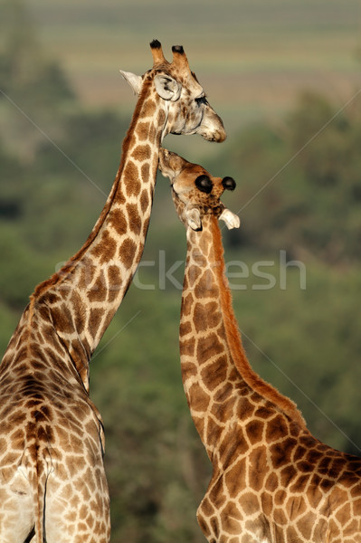 Giraffe interaction Stock photo © EcoPic