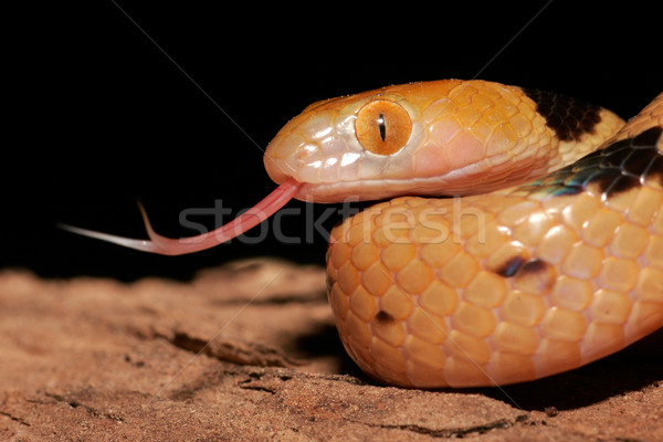 Tiger snake Stock photo © EcoPic