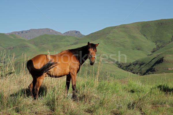 Mountain horse Stock photo © EcoPic