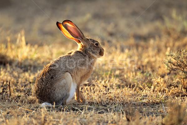 Haas natuurlijke leefgebied South Africa konijn Stockfoto © EcoPic