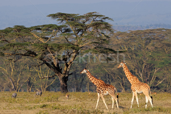 Rothschilds giraffes Stock photo © EcoPic