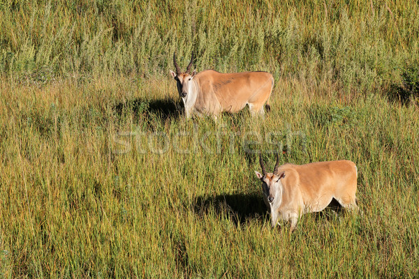 Eland antelopes in grassland Stock photo © EcoPic