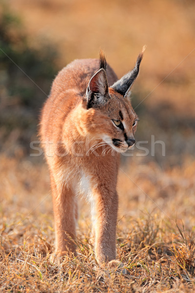 Caracal in natural habitat Stock photo © EcoPic