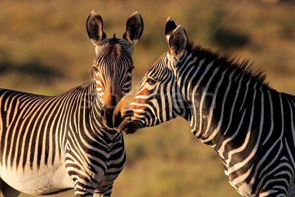 Hegy zebrák veszélyeztetett zebra park Dél-Afrika Stock fotó © EcoPic