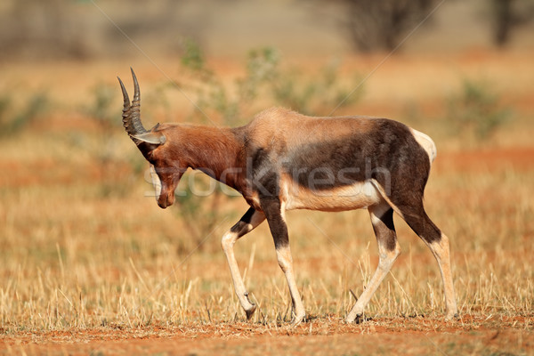 Bontebok antelope Stock photo © EcoPic