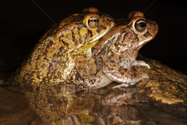 Mating guttural toads Stock photo © EcoPic