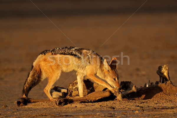 Scavenging black-backed Jackal Stock photo © EcoPic