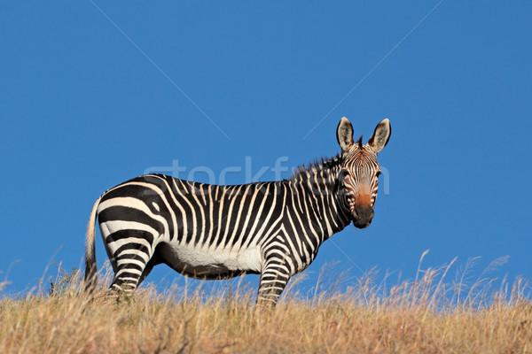 Berg Zebra blauer Himmel Südafrika Natur blau Stock foto © EcoPic