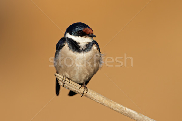 White-throated swallow Stock photo © EcoPic