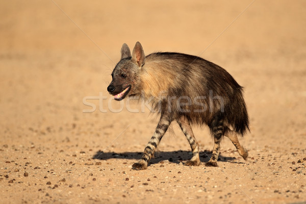 Brown hyena Stock photo © EcoPic