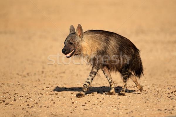 Barna hiéna sivatag Dél-Afrika park séta Stock fotó © EcoPic