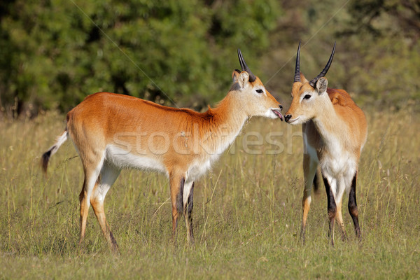 Red lechwe antelopes Stock photo © EcoPic