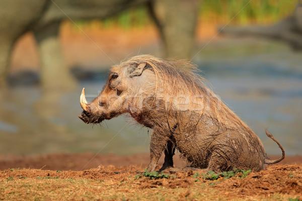 çamur kapalı Güney Afrika hayvan Afrika safari Stok fotoğraf © EcoPic