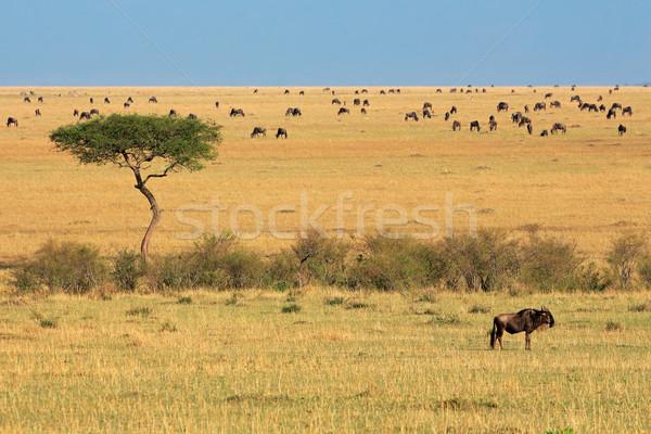 Wildebeest and tree Stock photo © EcoPic