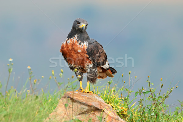Jackal buzzard Stock photo © EcoPic