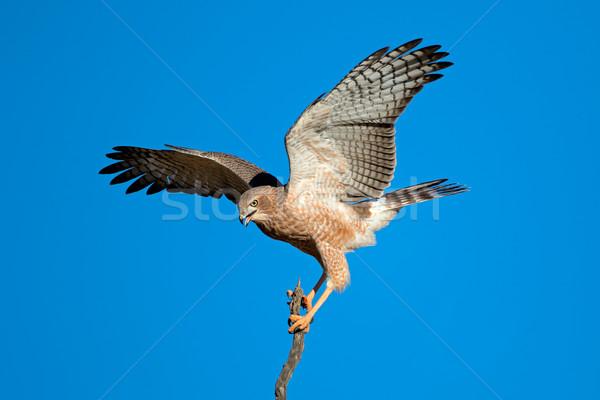 бледный открытых крыльями пустыне ЮАР глазах Сток-фото © EcoPic