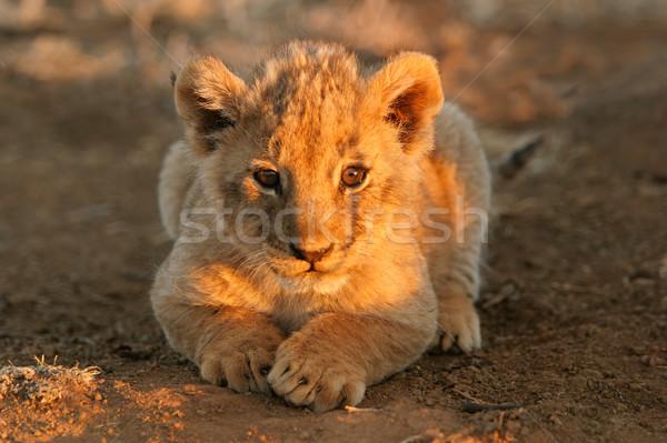 ライオン カブ 小さな 早朝 光 ストックフォト © EcoPic