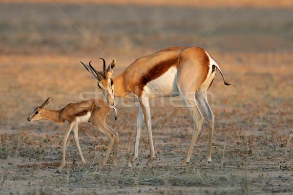 Springbok with lamb Stock photo © EcoPic